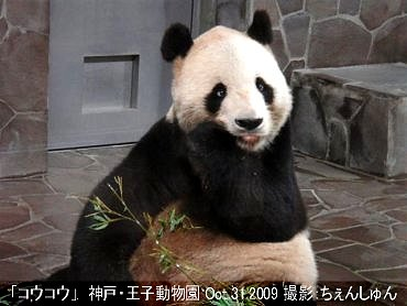 神戸王子動物園のパンダ20091031