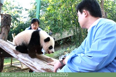 20091125ChiangmaiZOO-PandaBaby