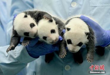 3つ子パンダが生後1ヶ月に!