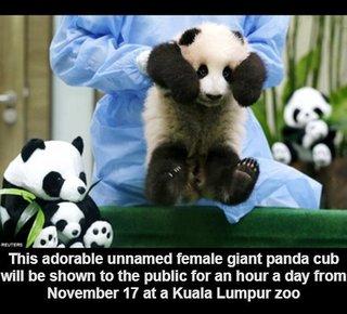 マレーシアでパンダの赤ちゃん公開!